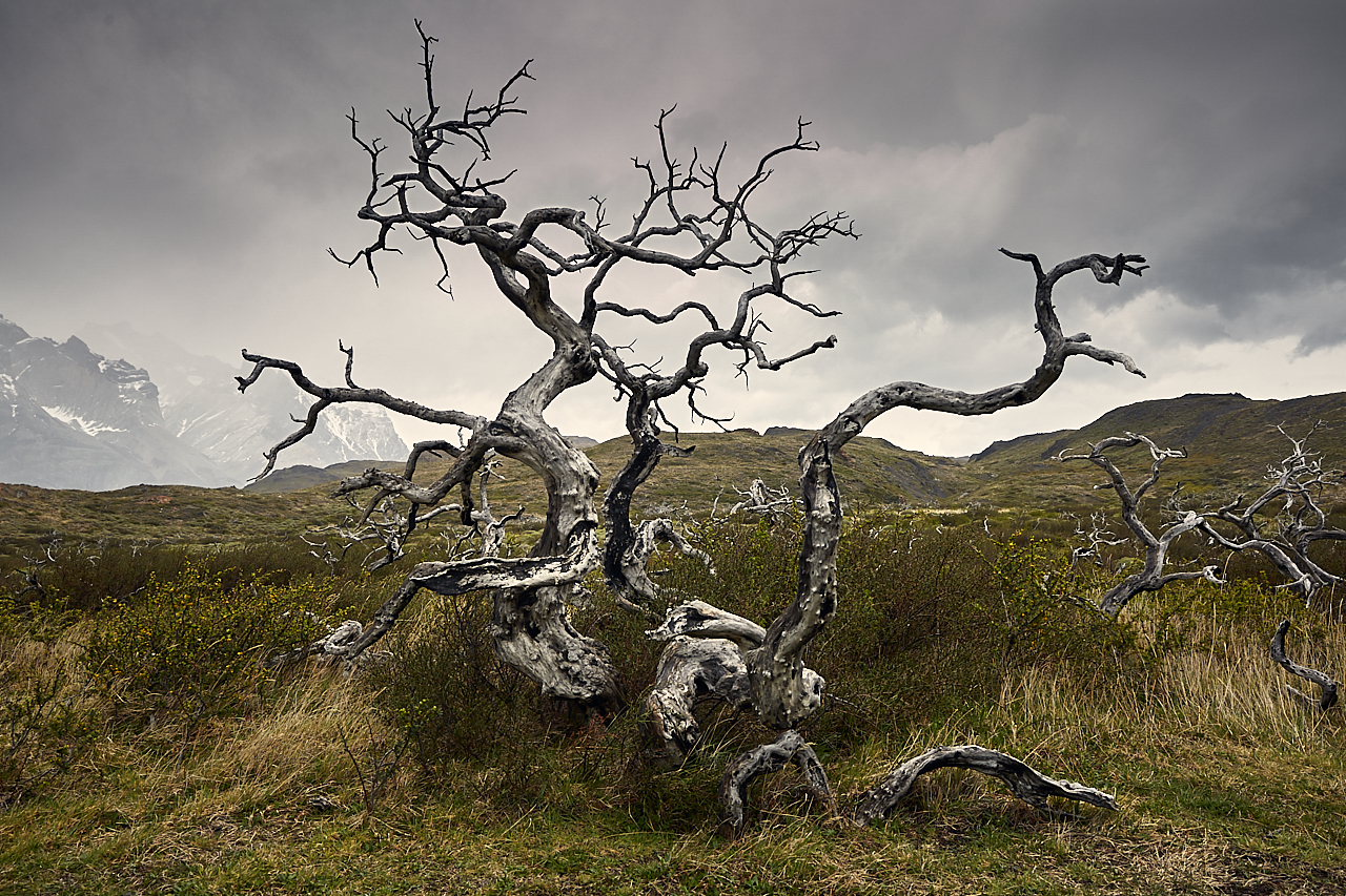 Patagonian tree